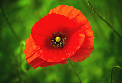 Fototapeta Red Poppy 24844