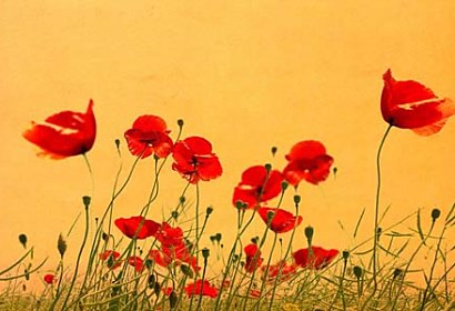 Fototapeta Wild Poppies 5977