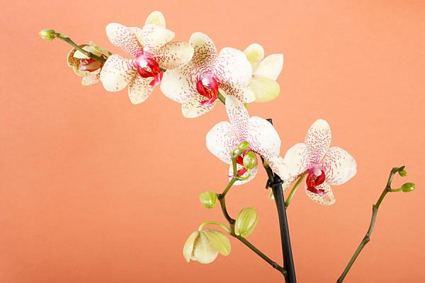 Fototapeta s orchideou 18516
