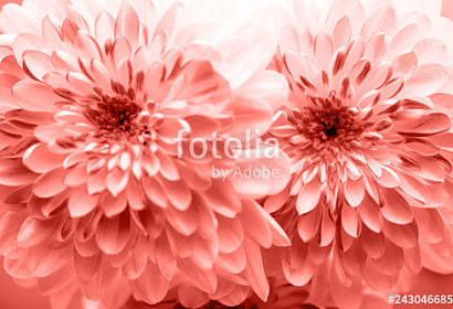 Tapeta Colar flowers Dahlia ft-243046685